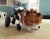 Internet Helps Guinea Pig Walk Again With Tiny Custom Wheelchair